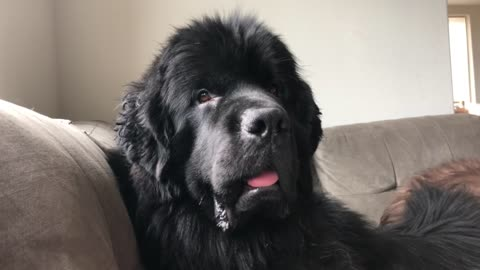 "Newfoundland Changes The Expression Of His Face When He Hears The Word ""Water"""