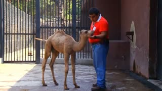 Baby Camel Has Bumpy Start In Life - Video