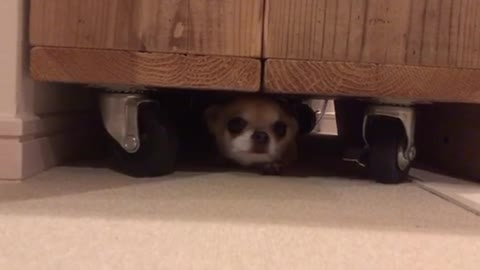 Chihuahua's hide and seek