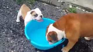 Bulldog destruye embarazosamente un balde de agua - Video