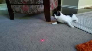 Kitten with Cerebellar Hypoplasia Chases Laser