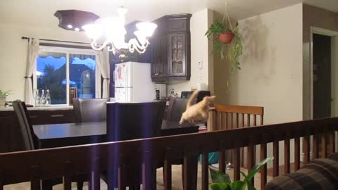 Jumping kitten results in truly epic fail