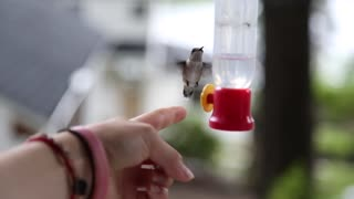 Hand feeding a wild hummingbird - Video
