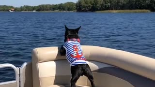 French Bulldog Goes For Thrilling Boat Ride - Video