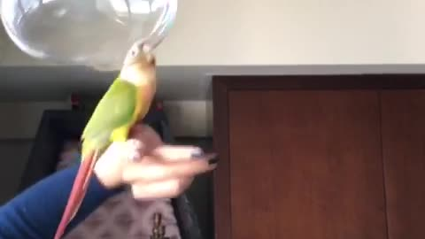 Parrot play with bubble ball
