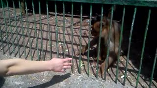 Monkeys at zoo shake hands with visitors - Video