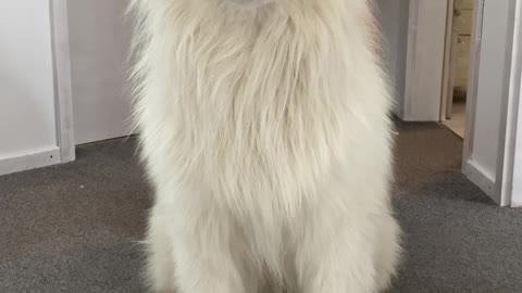 Look at those Samoyed's magic ears
