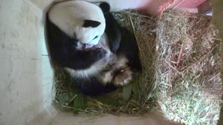 Giant panda shocks Vienna Zoo with twins - Video