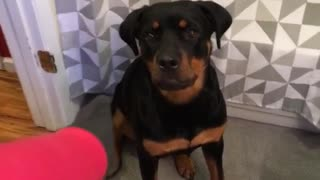 Black dog hates hair dryer - Video