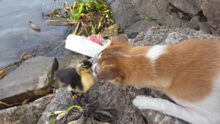 Duck and Dog Make Unlikely Friends - Video