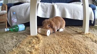 Cute bunny Pimousse playing with his favorite toy  - Video