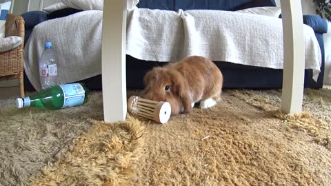 Cute bunny Pimousse playing with his favorite toy