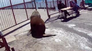 Sea Lion Dives Off Dock - Video