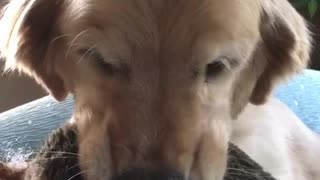 Brown dog sitting on couch gets interrogated for destroying hedgehog toy - Video