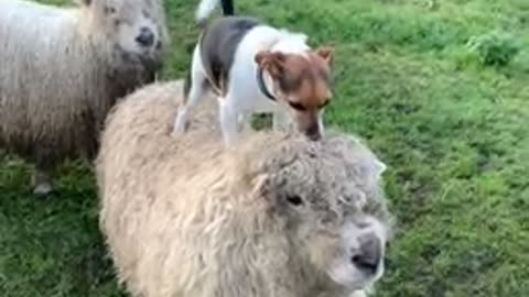Dog jumps on top of sheep to go for a ride
