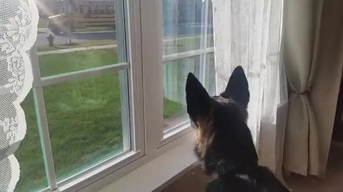 German Sheperd Whines when His Humans Go to School