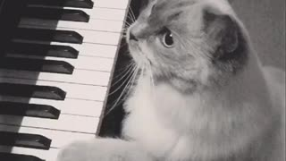 Music grey cat playing piano with paws - Video
