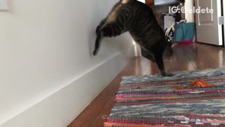 Cat jumps against wall  - Video