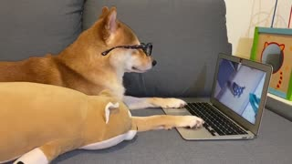 This Shiba Inu's Friday night is way better than yours