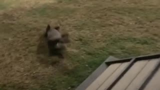Puppy's Platform Jump Results In Major Fail