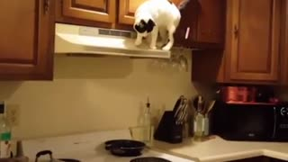 Collab copyright protection - chubby cat kitchen fall fail - Video