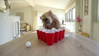 Munchkin the Teddy Bear is pretty good at beer pong