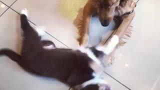 Puppy begs bigger dog to play with him