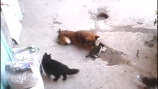 a dog playing with mother cat and baby kittens