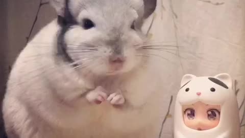 Hiccuping Chinchilla