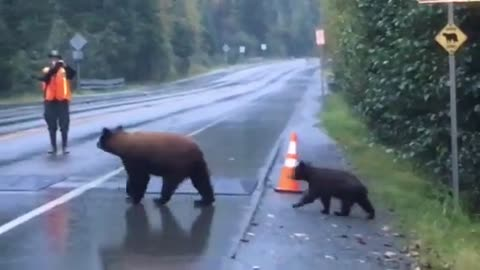 Mama bear cross the street with two cubs