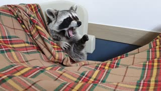 Raccoon wakes up from his sleep and yawns.