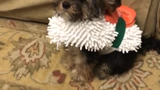 Dog chasing ball in sushi costume - Video