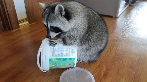 Raccoon looks for almonds by putting his face in the container to eat them.