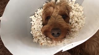 Popcorn Cone of Shame - Video