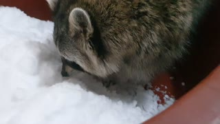 Raccoon who loves snow plays with his hands digging into it.