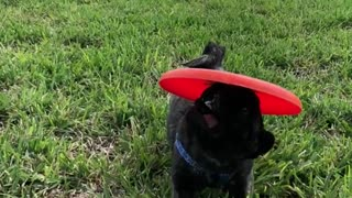Black dog red frisbee running on grass