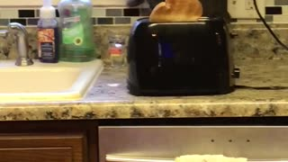 Cat gets startled by the toaster