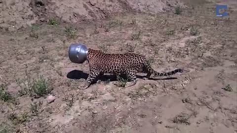 Leopard Gets Head Stuck in Water Pot