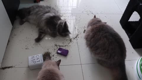 Catnip party - what happens when you leave your cats alone for 5 minutes