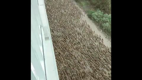 Thousands of Ducks Swarm to River