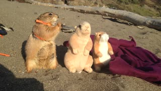 "Prairie dog enjoys day at the beach with ""friends"""