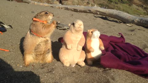 Prairie dog enjoys day at the beach with