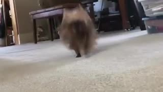 Small brown dog runs to camera while woman plays piano  - Video