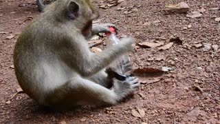 Adult Monkey Can't Open Coca For Drink