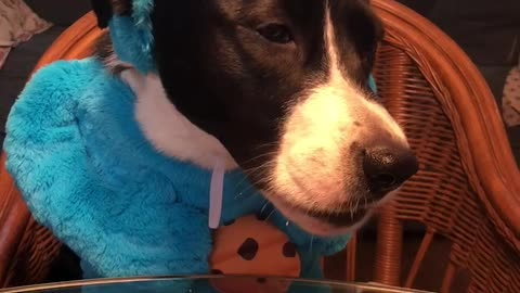 Dog eats cookie in 'Cookie Monster' costume