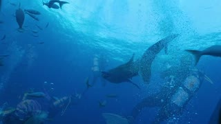 Scuba divers receive surprise visit from massive whale shark - Video