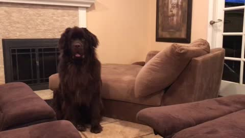 Giant Newfie Throws A Tantrum, And Only His Tiny Owner Can Handle Him