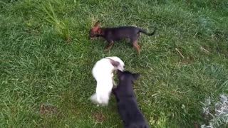 Chihuahua puppies playing with mom - Video