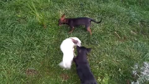 Chihuahua puppies playing with mom