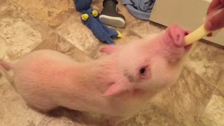 Hungry mini pig struggles to eat cheese string
